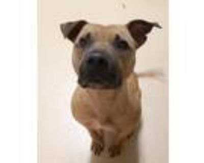 Adopt CeCe a Tan/Yellow/Fawn American Staffordshire Terrier / American Pit Bull