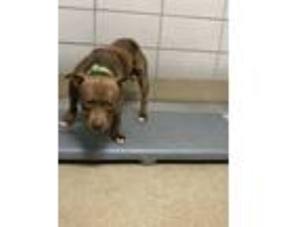 Adopt Geo a Brown/Chocolate American Pit Bull Terrier / Mixed dog in Fort Worth