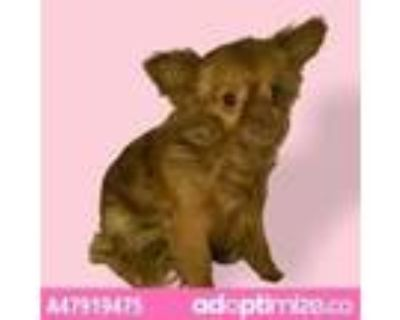Adopt 47919475 a Brown/Chocolate Pomeranian / Mixed dog in El Paso