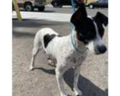 Adopt Stella a White - with Tan, Yellow or Fawn Jack Russell Terrier / German