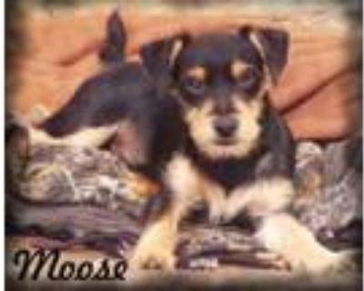 Adopt Moose a Yorkshire Terrier, Miniature Pinscher