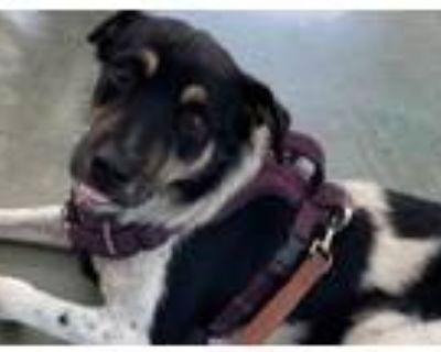 Adopt PUDDING a Australian Cattle Dog / Blue Heeler, Husky
