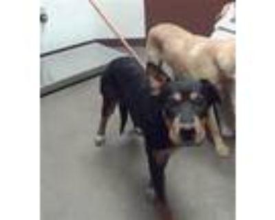 Adopt KIMCHI a Shar-Pei, Labrador Retriever