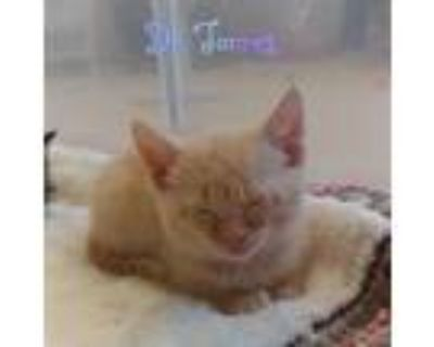Adopt Dr Torres a Orange or Red Domestic Shorthair / Mixed cat in Wichita