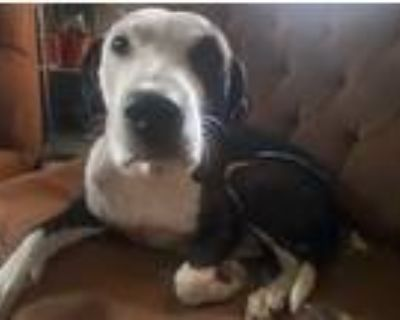 Adopt Penelope needs a foster a Pointer, Cattle Dog