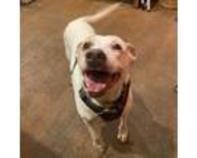 Adopt Mokka a English Pointer, Labrador Retriever
