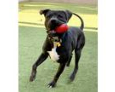 Adopt Sabook a Brown/Chocolate - with White Mastiff / Pit Bull Terrier / Mixed