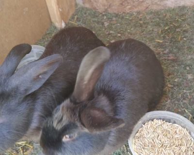 2 males and 2 females Rabbits for sale