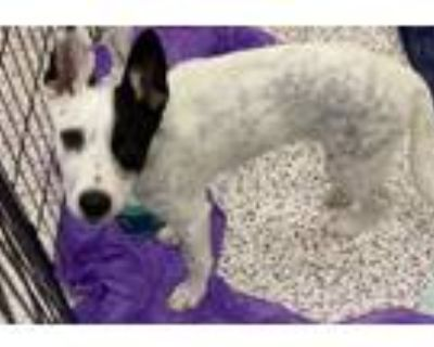 Adopt Cooper a Border Collie, Mixed Breed