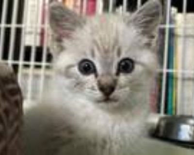 Adopt STICKY a Siamese, Domestic Short Hair