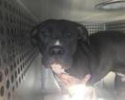 Adopt JILLIAN a Pit Bull Terrier