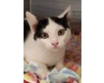 Adopt Oakley a All Black Domestic Shorthair / Domestic Shorthair / Mixed cat in