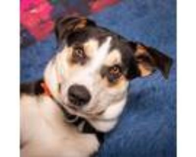 Adopt Maddox Blooms a Black Husky / Mixed dog in Mission, KS (31644292)