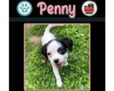 Adopt Penny (Big Bang Theory Pup) a White - with Black Pointer dog in Kimberton