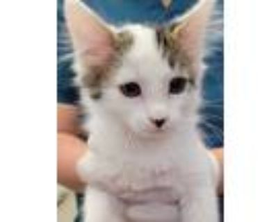 Adopt 654964 a White Domestic Mediumhair / Domestic Shorthair / Mixed cat in