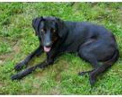 Adopt Ruby a Black Labrador Retriever