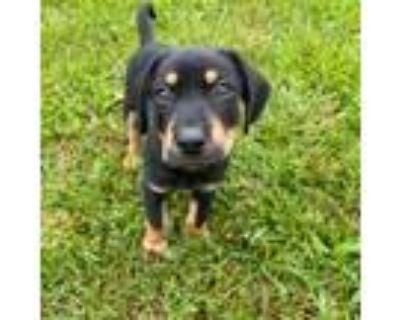 Adopt Hines a Labrador Retriever, German Shepherd Dog