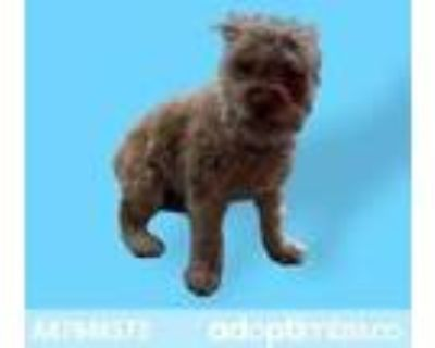 Adopt 47946573 a Brown/Chocolate Westie, West Highland White Terrier / Mixed dog