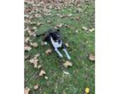 Adopt Zoe a Black - with White Labrador Retriever / Border Collie / Mixed dog in