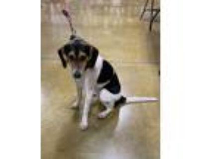 Adopt Avril a Beagle