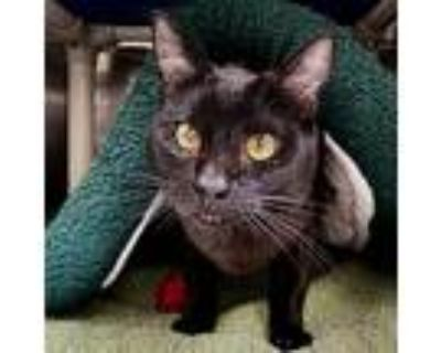 Iggy, Domestic Shorthair For Adoption In Oakland, California