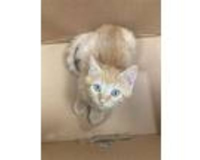 Adopt Dale a Orange or Red Domestic Shorthair / Domestic Shorthair / Mixed cat