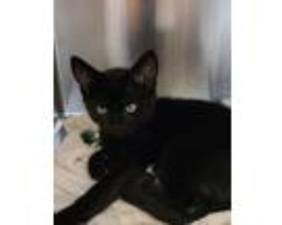 Adopt Lenny a Domestic Shorthair / Mixed cat in Golden, CO (32141927)