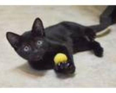 Adopt Cog - Neo #3 a Domestic Mediumhair / Mixed (medium coat) cat in Cambria