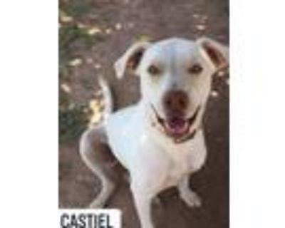 Adopt Castiel a Labrador Retriever