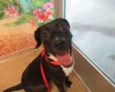 Adopt Whitney a Black Labrador Retriever / Mixed dog in Arlington, TX (31644857)
