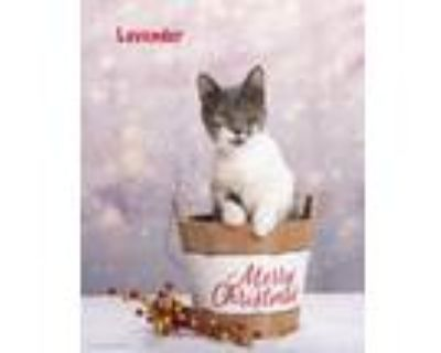 Adopt Lavender AKA Beep a Domestic Shorthair / Mixed (short coat) cat in San