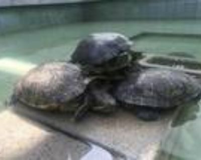 Adopt LULU a Turtle - Other / Mixed reptile, amphibian, and/or fish in Los