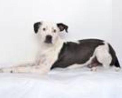 Adopt JACK a Pit Bull Terrier, Labrador Retriever