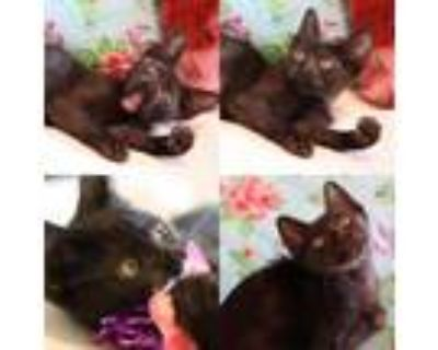 Adopt Betty Boop a All Black Domestic Longhair / Mixed cat in Houston
