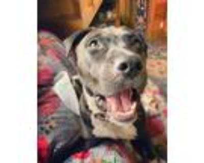 Adopt Annie Divine a Pit Bull Terrier, Labrador Retriever