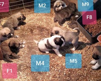 * Livestock Guardian Puppies * Updated June 19, 2021
