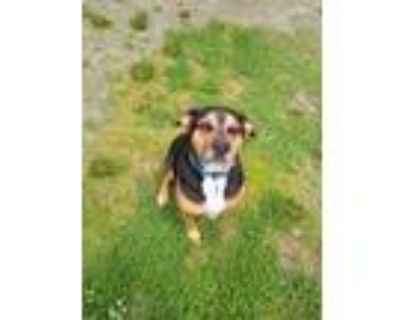 Adopt Buster a Tricolor (Tan/Brown & Black & White) Rottweiler / Mixed dog in