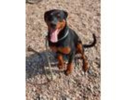 Adopt Smoke a Black Labrador Retriever / Mixed dog in Chesapeake, VA (31103793)