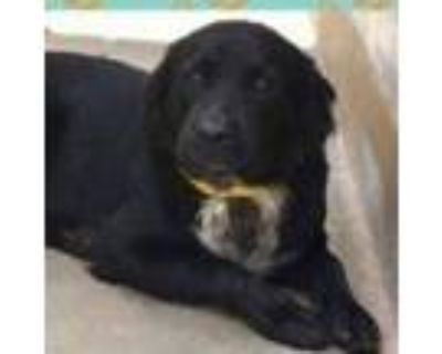 Adopt Oswald Blooms a Black Border Collie / Great Pyrenees / Mixed dog in