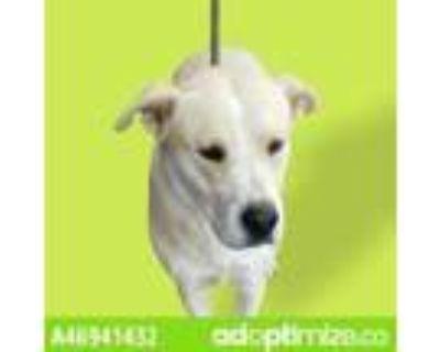 Adopt 46941432 a Tan/Yellow/Fawn Labrador Retriever / Mixed dog in El Paso