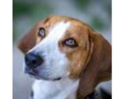 Adopt 21-068 Dexter a Treeing Walker Coonhound