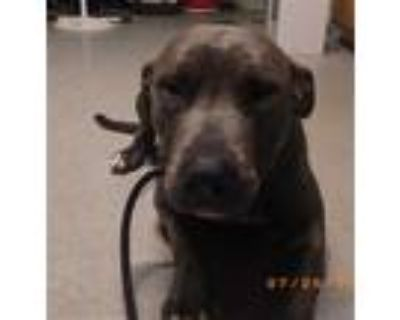 Adopt IRENE a Gray/Silver/Salt & Pepper - with White American Pit Bull Terrier /