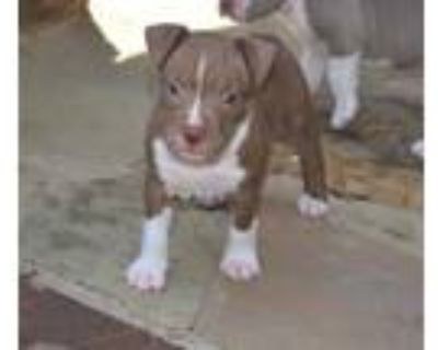 Adopt Carisa a Brown/Chocolate American Staffordshire Terrier / Mixed dog in