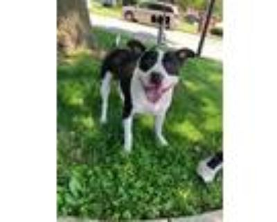 Adopt Buddee Joe a Black - with White American Pit Bull Terrier / Mixed dog in