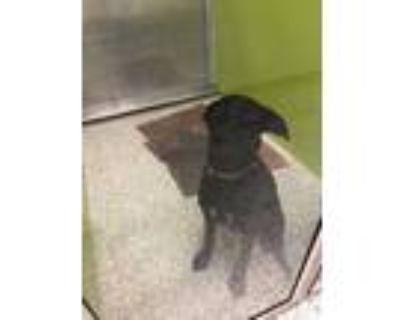 Adopt Wren a Black Labrador Retriever / German Shepherd Dog / Mixed dog in