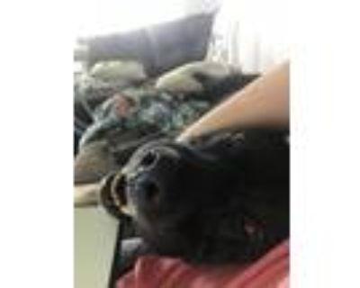 Adopt Mater a Black Labrador Retriever / Cane Corso / Mixed dog in Duluth