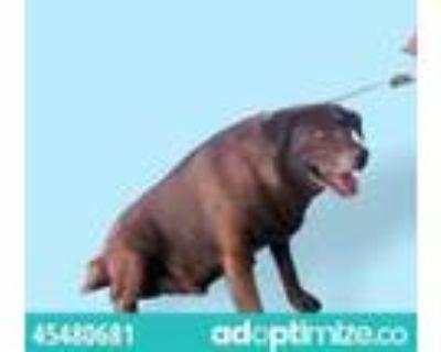 Adopt Sydney a Brown/Chocolate Labrador Retriever / Mixed dog in El Paso