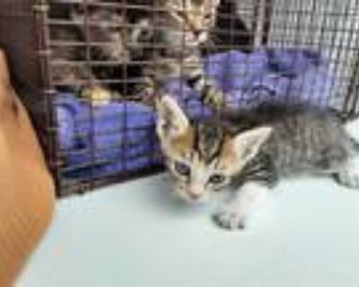 Adopt CHICKEN LITTLE a Gray, Blue or Silver Tabby Domestic Shorthair / Mixed