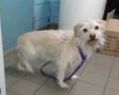 Adopt MAGNOLIA a White Border Terrier / Lhasa Apso / Mixed dog in Albuquerque