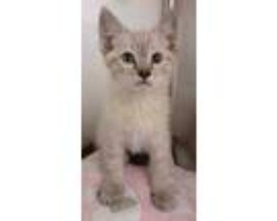 Adopt Firework a Cream or Ivory Siamese / Domestic Shorthair / Mixed cat in